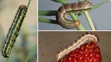 Esto debes saber de los armyworms, la plaga de gusanos que causa daños a cosechas y pastos en Texas