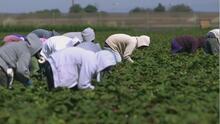 Trabajadores del campo en EEUU recibirán un estímulo de 600 dólares sin importar el estatus migratorio