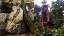 (VIDEO) Encuentra la serpiente más grande del mundo y necesitan una grúa para moverla