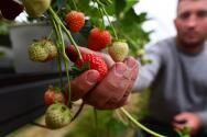 Estas son las granjas de fresas que puedes visitar cerca de Filadelfia