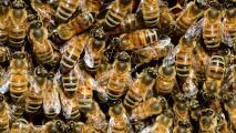 Autoridades en Arizona recomiendan solicitar apoyo para remover panales de abeja ante recientes incidentes