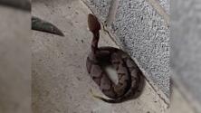 Familia encuentra una serpiente cabeza de cobre en su garaje: experto aclara dudas