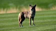 Coyotes en zonas residenciales del sur de Florida podrían comer gatos y perros pequeños