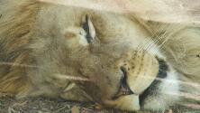 Once leones dan positivo a covid-19 en el Zoológico de Denver
