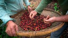 De consumidores a productores: agricultores en California le apuestan a un café de alta calidad