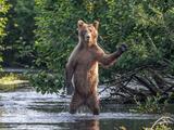 Un oso pardo saca a una mujer de su tienda de campaña y la mata: buscan al animal para sacrificarlo