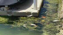 ¿A qué puede deberse la aparición de peces muertos en la Bahía de Biscayne? Expertos responden