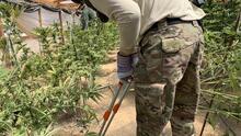 Estado de emergencia en Oregon por cultivos ilegales de marihuana y casos de 'narcoesclavitud'