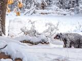 Captan en cámara a oso negro mientras buscaba sus últimos alimentos antes de hibernar en Yosemite