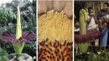 Cinco datos de las gigantescas 'flor cadáver' a punto de esparcir su olor a carne podrida en el sur de California