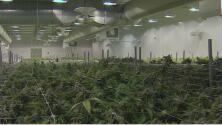 Avanza el proyecto de ley para legalizar la marihuana recreacional en Illinois: esto es lo que debes saber