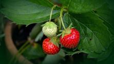 Cómo cultivar 4 plantas comestibles