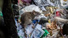 Nueva York en alerta ante brote de rara enfermedad transmitida por ratas: cómo protegerte