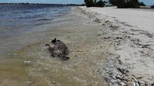 La marea roja golpea con intensidad a la Bahía de Tampa y deja toneladas de peces muertos
