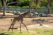 """""""A Kiden le está yendo muy bien y está explorando sus alrededores. Los cuidadores del zoológico que trabajaron con Kiden la describieron como muy confiada con otras jirafas, por lo que esperamos que se sienta cómoda y confiada en las sabanas una vez que se instale. Esperamos verla desarrollar su papel en la manada """", dijo Michele Green, encargada del zoológico."""