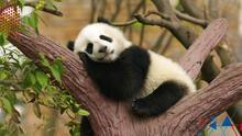 El oso panda sale oficialmente de la lista de animales en peligro de extinción