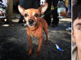 Arrestan a hispano por matar a un perro Chihuahua y publicar el crimen en un video en redes sociales