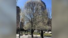 El árbol que sobrevivió 09/11: un símbolo que inspira a seguir luchando con todas las fuerzas