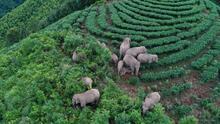 Monitoreados con drones y guiados con comida: los 'elefantes vagabundos' de China regresan a casa