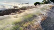 Impresionantes imágenes de miles de arañas huyendo de las inundaciones