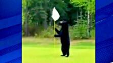 Un oso irrumpe en un campo de golf y se roba un aperitivo, adiós a su carrera como caddie