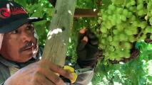 Legisladores estatales piden que se amplíe el programa de ingresos universales a trabajadores del campo