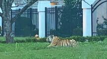 """""""Un tigre en mi barrio"""": captan en video a enorme felino suelto en la calle al oeste de Houston"""