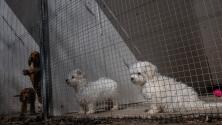 """""""No son criadores, son fábricas de animales"""": lo que debes saber sobre los sitios comerciales de cría en Texas"""