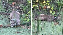 Cierran dos escuelas en Rohnert Park tras aparición de puma