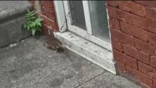 """""""Esto está lleno de ratas y basura"""": otro problema de la comunidad en el norte de Filadelfia"""
