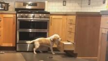 El videíto: El ingenio de esta perra para escalar al tope de la cocina de su dueña te dejará con la boca abierta