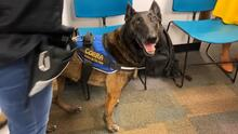Aeropuerto de Miami es el primero del país en tener perros que detectan el coronavirus