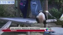 Oso panda predice al ganador del Super Bowl