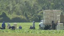 Trabajadores agrícolas le responden al gobernador DeSantis sobre el aumento de contagios con coronavirus