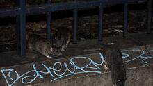 Plaga de ratas en Filadelfia se encuentra entre las peores en EE. UU.