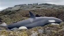 Rescate marino: varias personas salvan a una orca varada en la costa de Alaska