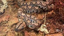 Serpiente del zoológico de Phoenix da a luz sin tener pareja
