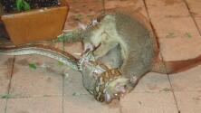 Una zarigüeya salva a su cachorro a punto de ser comido por una pitón