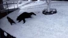 Una familia no vio que había osos en su patio y sacó a los perros: acabaron en el veterinario tras ser atacados
