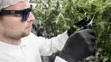 Entra en vigor la ley que permite el uso de la marihuana con fines medicinales en Florida