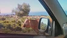 (Video) Viajeros preguntan direcciones a una vaca y ella pareciera indicarles el camino