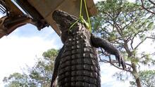 Esperaron tres años para cazar caimanes en Florida y capturaron uno de 12 pies el primer día