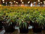 Incautan 2 toneladas de marihuana y $4 millones a traficantes de droga de origen chino en California