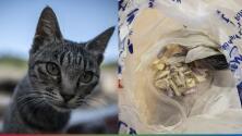 Conoce al 'gato narco': el pequeño felino que transportó una bolsa llena de droga