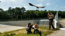 Liberan un águila calva en Houston tras presentar signos deshidratación y delgadez