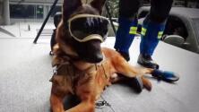 Perros rescatistas mexicanos: héroes de cuatro patas que salvan vidas después de desastres naturales