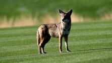 Preocupación entre la comunidad de Pembroke Pines por la aparición de coyotes