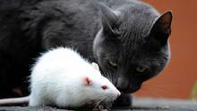 Aumentan los casos de una extraña enfermedad transmitida por ratas en la ciudad de Nueva York