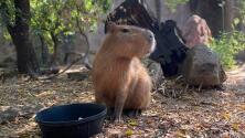Chigüiro, el nuevo residente sudamericano del Zoológico de Sacramento