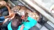 En video: un leopardo deja 20 heridos en un área residencial india